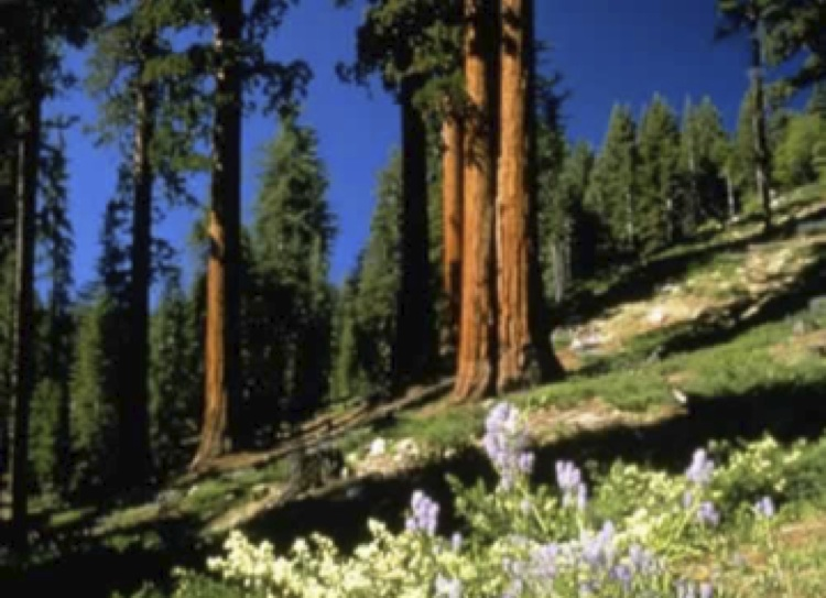 southern sierra forest