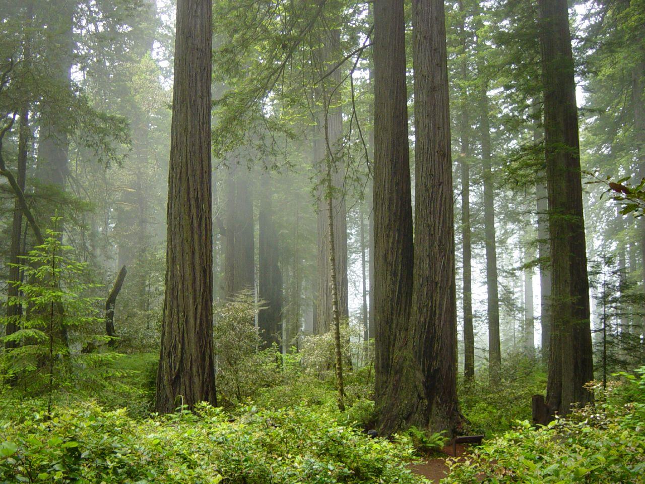 coast redwoods national park in fog